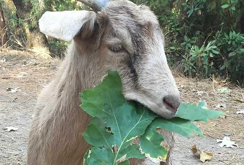 Dizzy – Goat