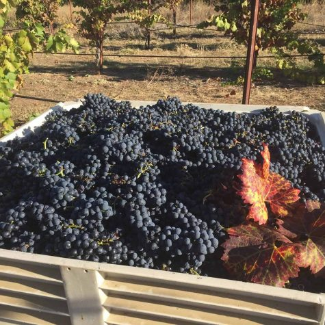 Saluti Cellars Vineyard